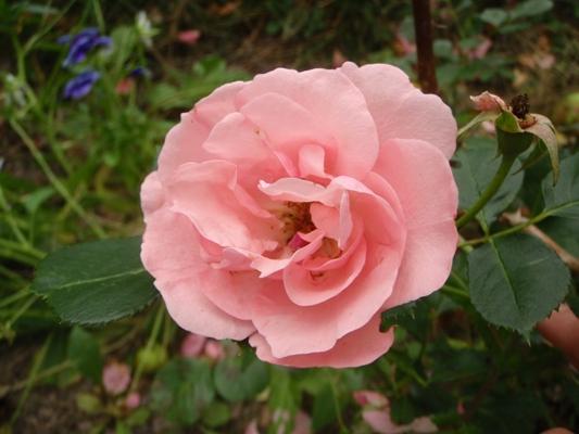 Lill Lindfors rose