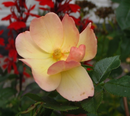 Lineaus rose